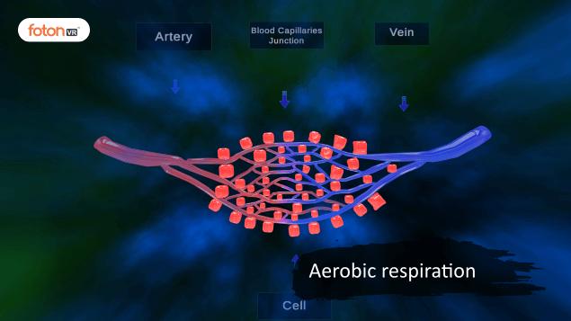 Virtual tour 3 Aerobic respiration