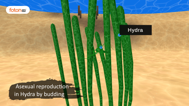 Virtual tour 6 Asexual reproduction in Hydra by budding