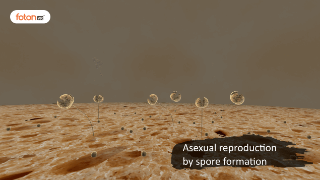 Virtual tour 8 Asexual reproduction by spore formation
