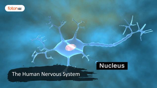 Virtual tour 1 The Human Nervous System