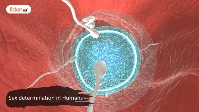 Virtual tour 4 Sex determination in Humans