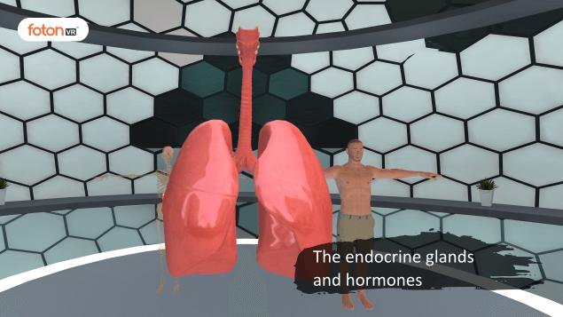 Virtual tour 4 The endocrine glands and hormones
