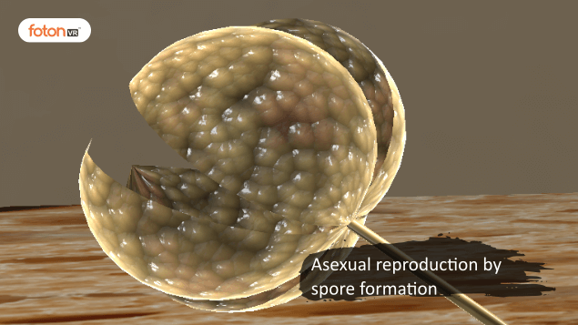 Virtual tour 5 Asexual reproduction by spore formation