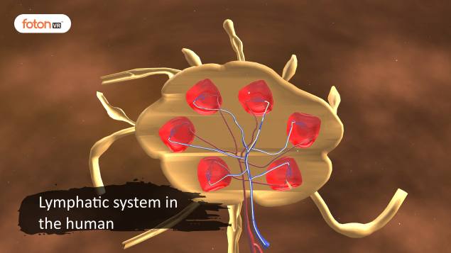 Virtual tour 8 Lymphatic system in the human